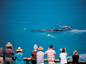Whale Watching At Head Of Bight - Hervey Bay Accommodation
