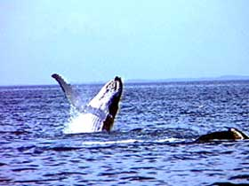 Whale Watching - Hervey Bay Accommodation
